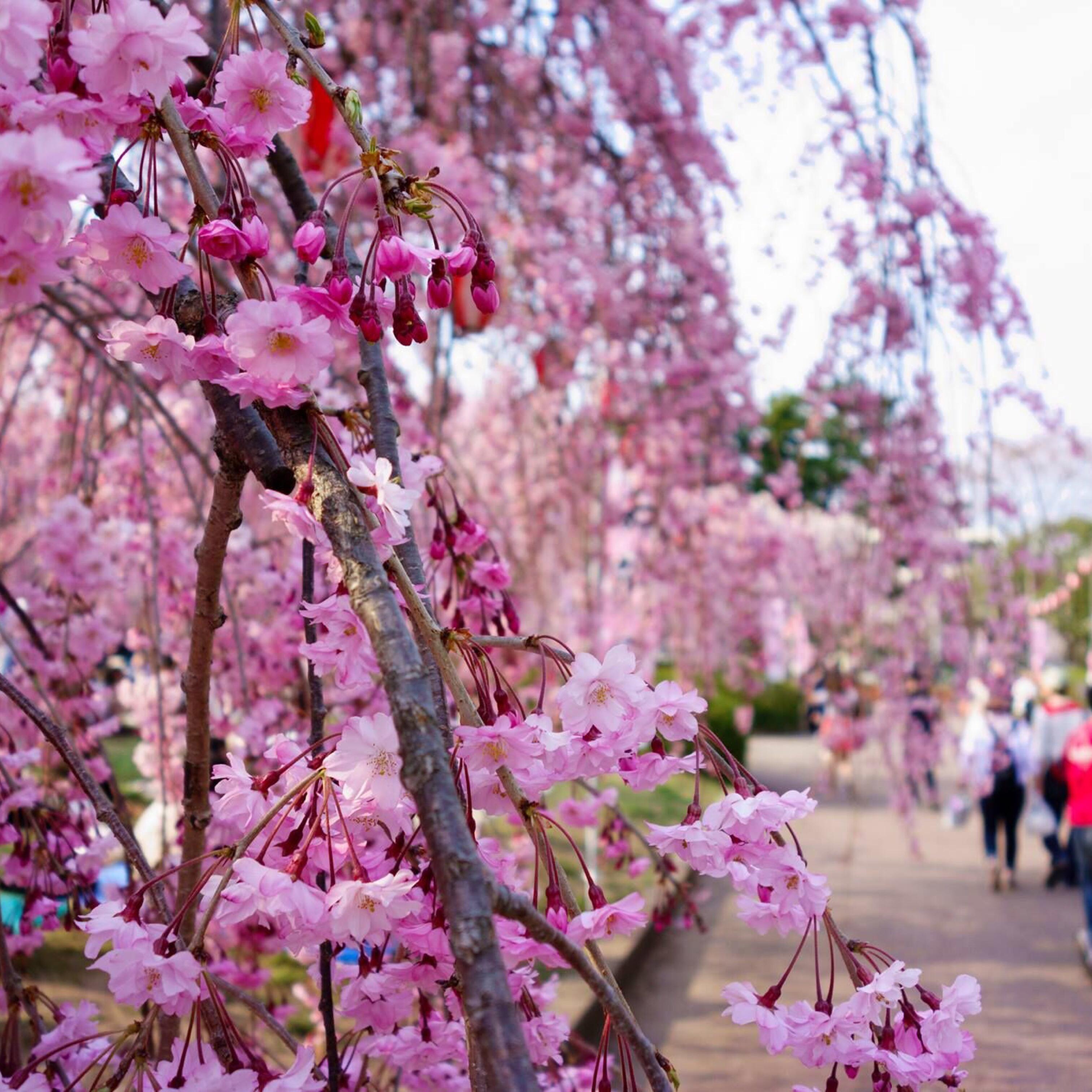 Miyagi, Japan, Cherry Blossom, Vaughn Lowery, 360 Magazine,